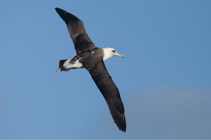 Figure 1: A Laysan albatross with GPS, camera, and accelerometer data logger attached to its back. Photo credit: Nishizawa Bungo